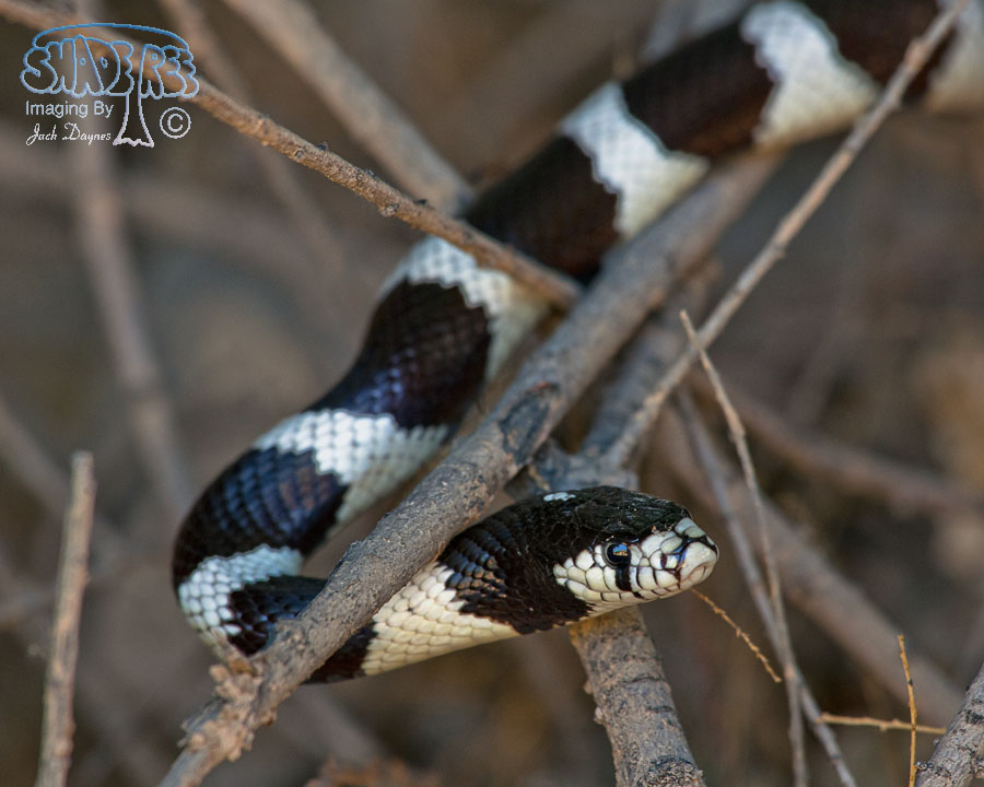California Kingsnake - Lampropeltis getula californiae
