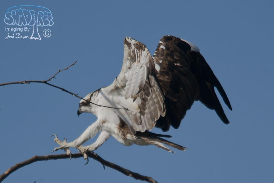 Osprey - Pandion haliaetus