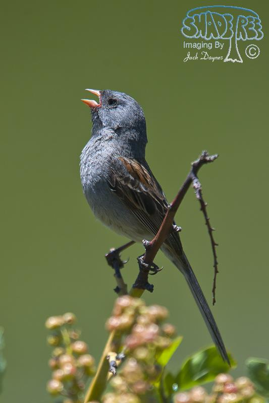 Black-Chinned Sparrow - Spizella atrogularis