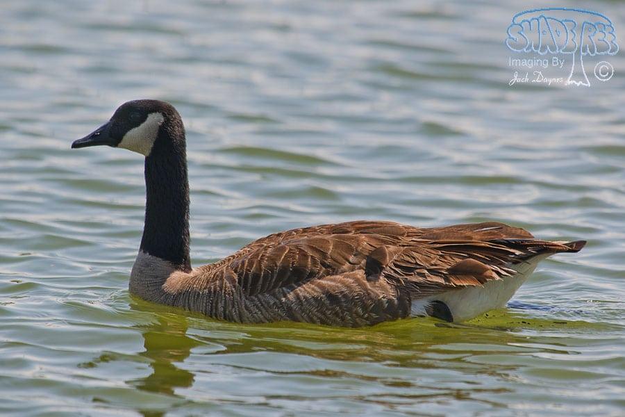 Canada Goose - Amphispiza bilineata