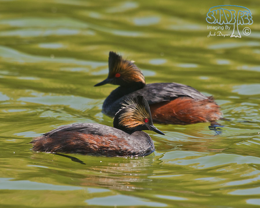 Eared Grebe - Podiceps nigricollis