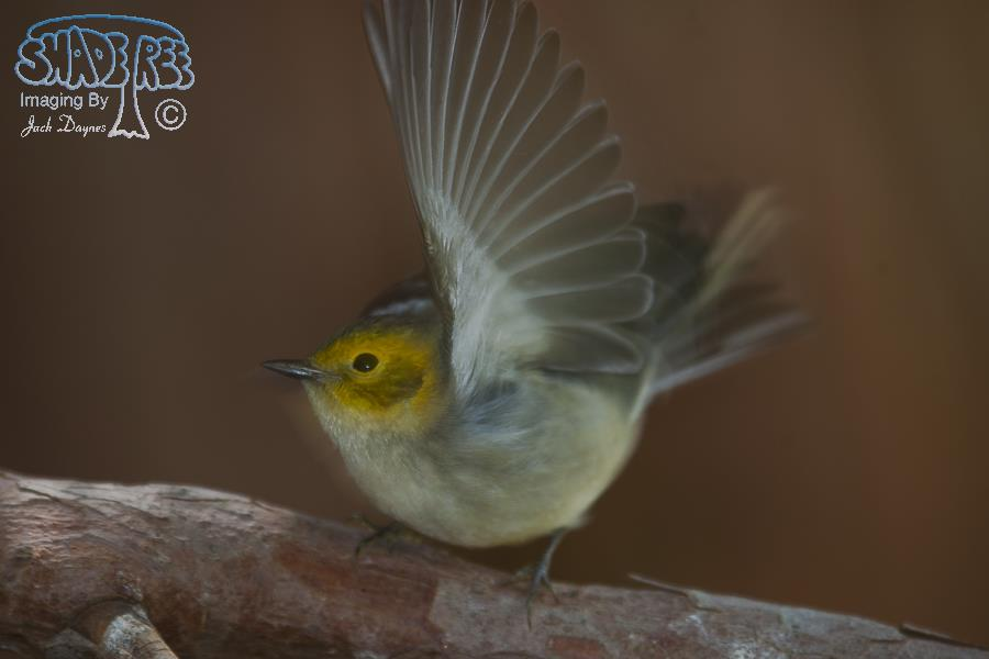 Hermit Warbler - Setophaga occidentalis
