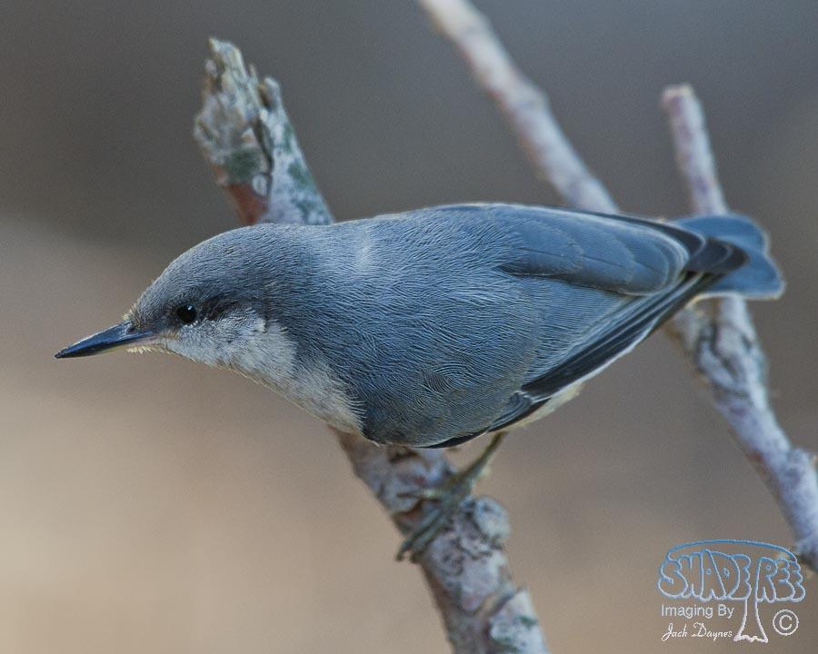 Pygmy Nuthatch - Sitta pygmaea