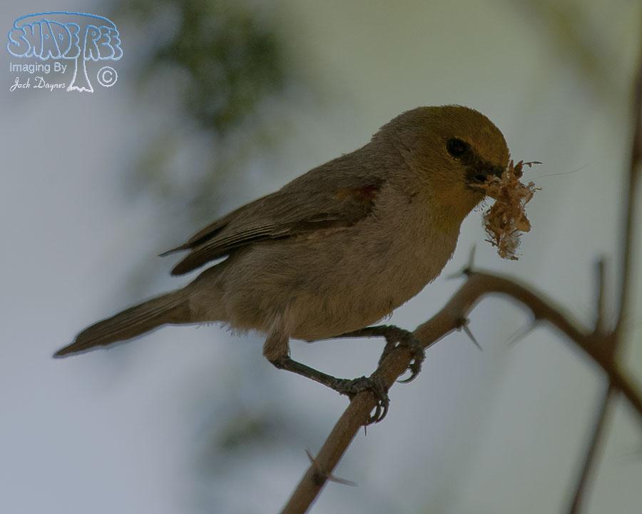 Verdin - Auriparus flaviceps