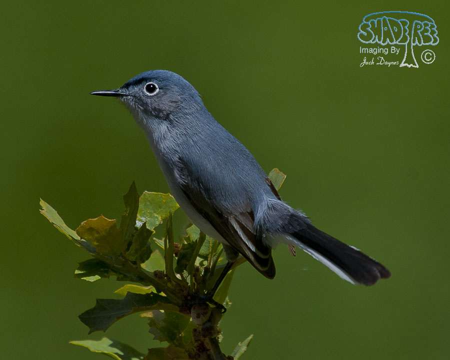 Blue-Gray Gnatcatcher - Auriparus flaviceps