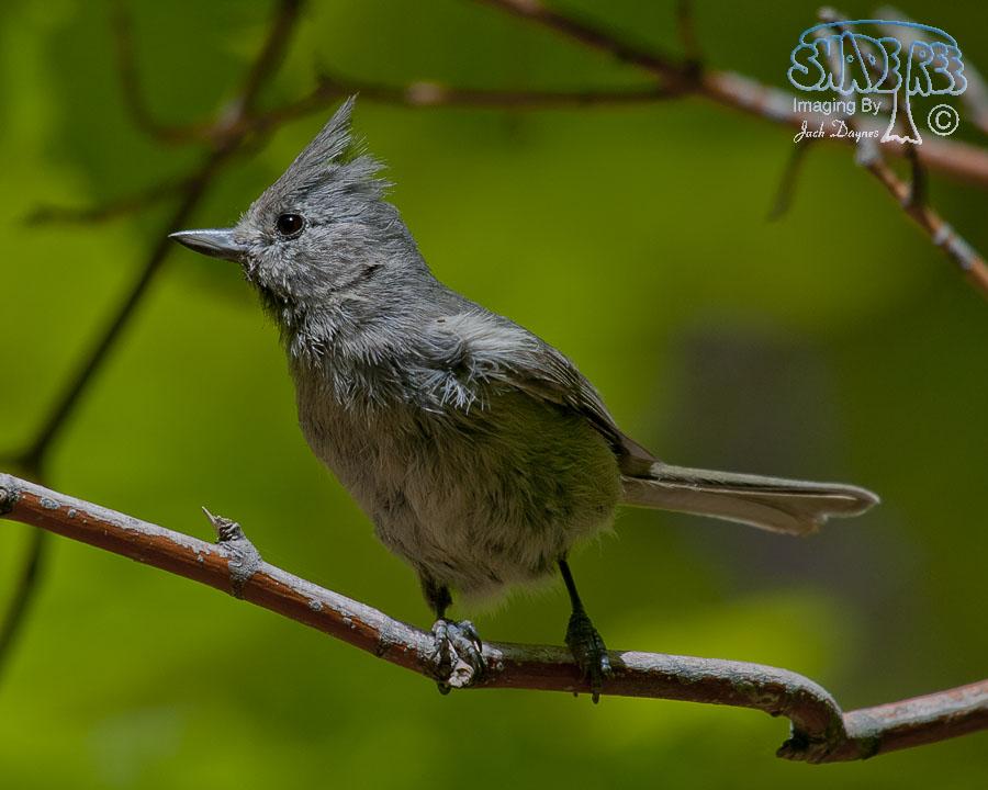 Juniper Titmouse - Troglodytes aedon