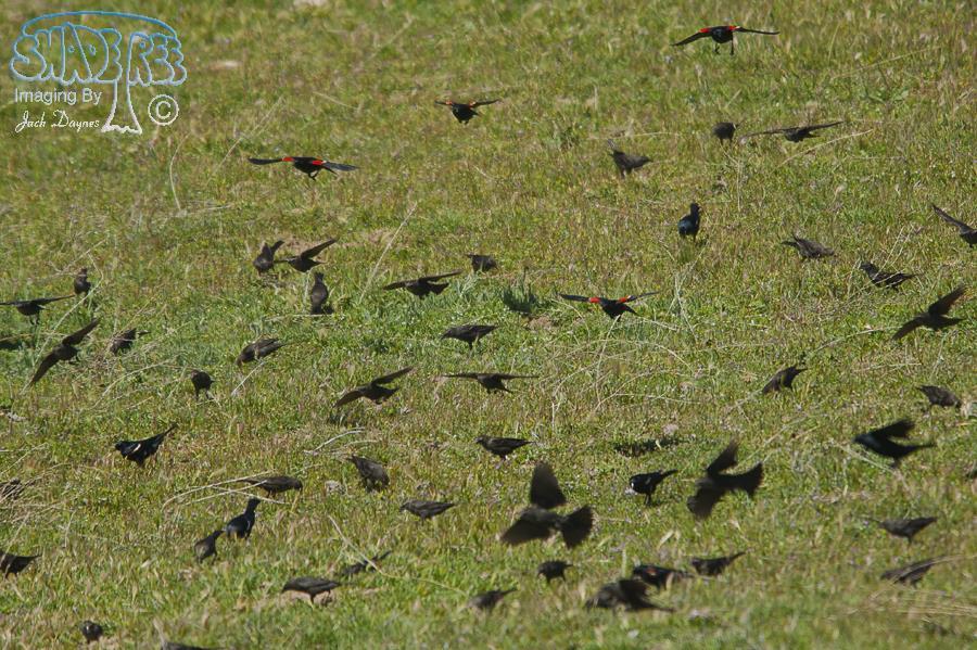 Tricolored Blackbird - Agelaius tricolor