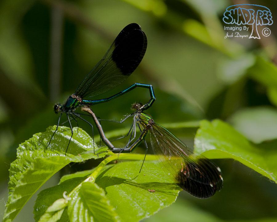 River Jewelwing - Calopteryx aequabilis
