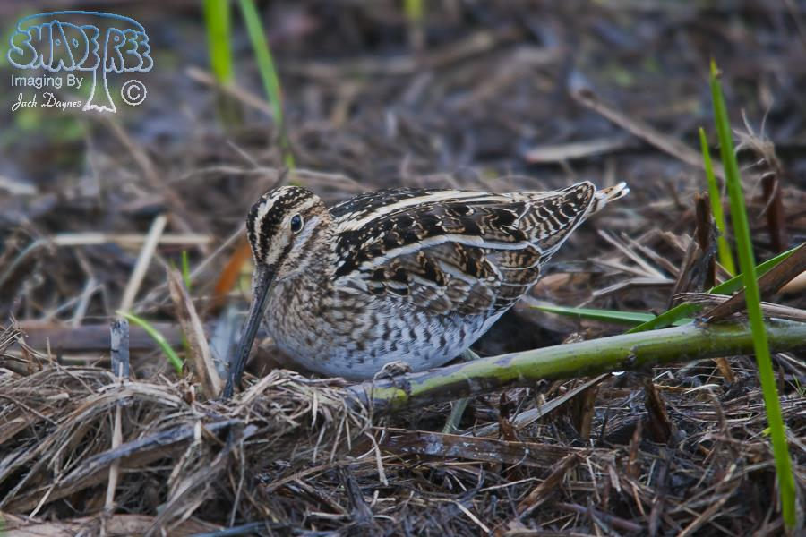 Wilson's Snipe - Gallinago delicata