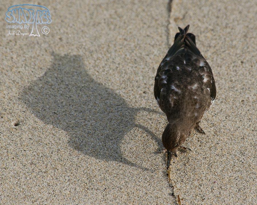 Black Turnstone - Arenaria melanocephala