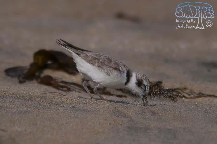 Snowy Plover - Charadrius alexandrinus