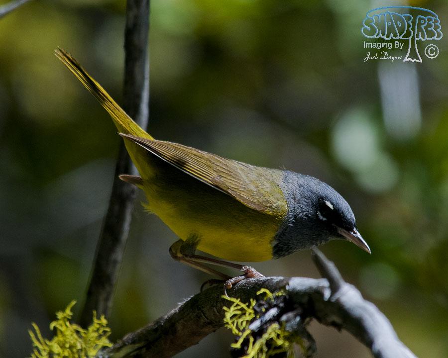 MacGillivray's Warbler - Oporornis tolmiei