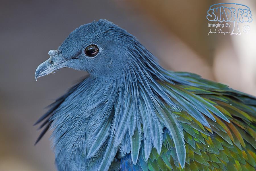 Nicobar Pigeon - Caloenas nicobarica