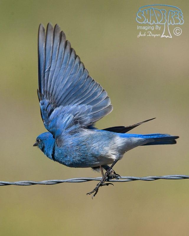 Mountain Bluebird - Sialia currucoides