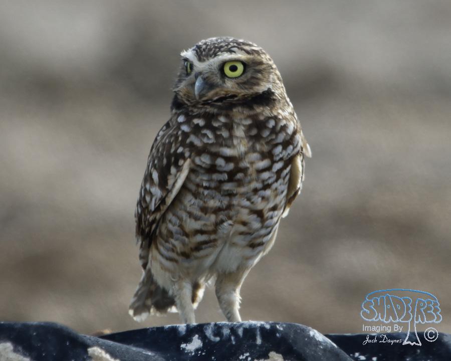 Burrowing Owl - Athene cunicularia