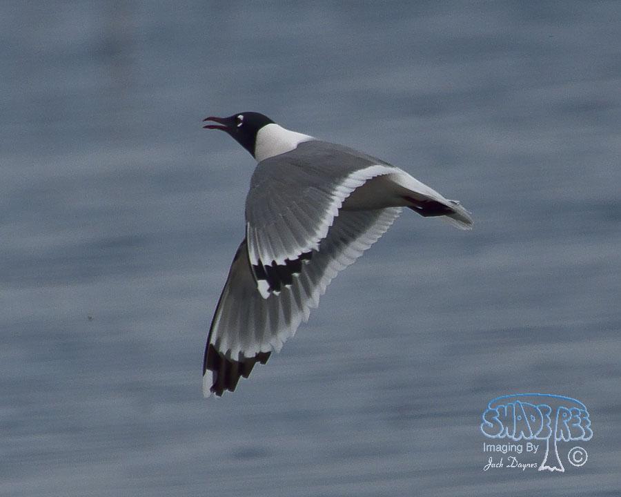 Franklin's Gull - Larus pipixcan