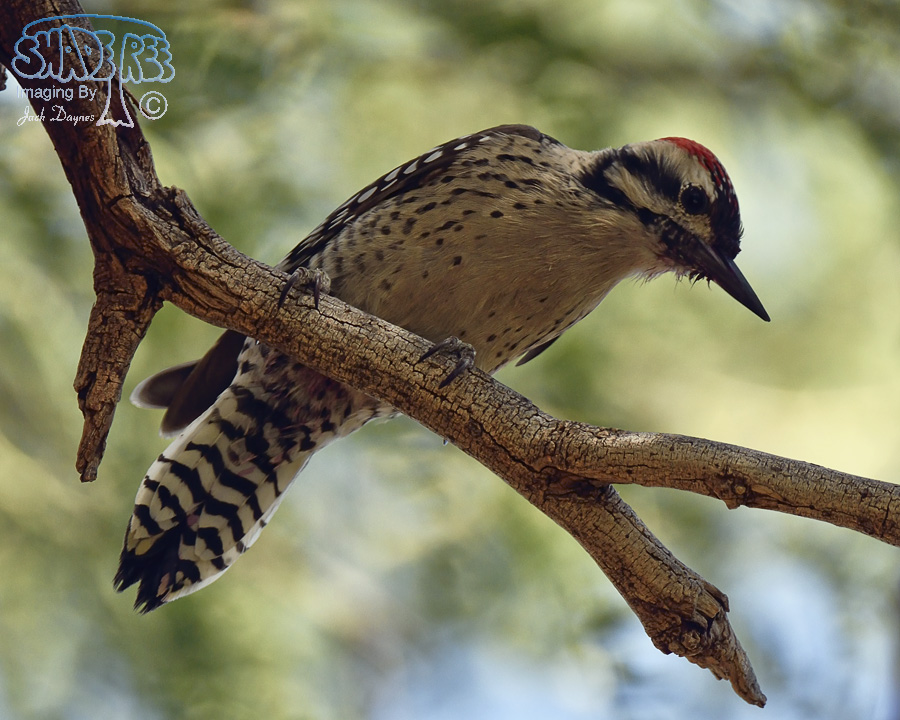 Ladder-Backed Woodpecker - Himantopus mexicanus