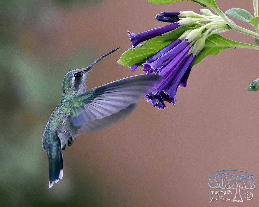 Broad-Billed Hummingbird - Cynanthus latirostris