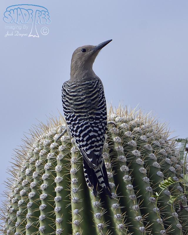 Gila Woodpecker - Melanerpes uropygialis