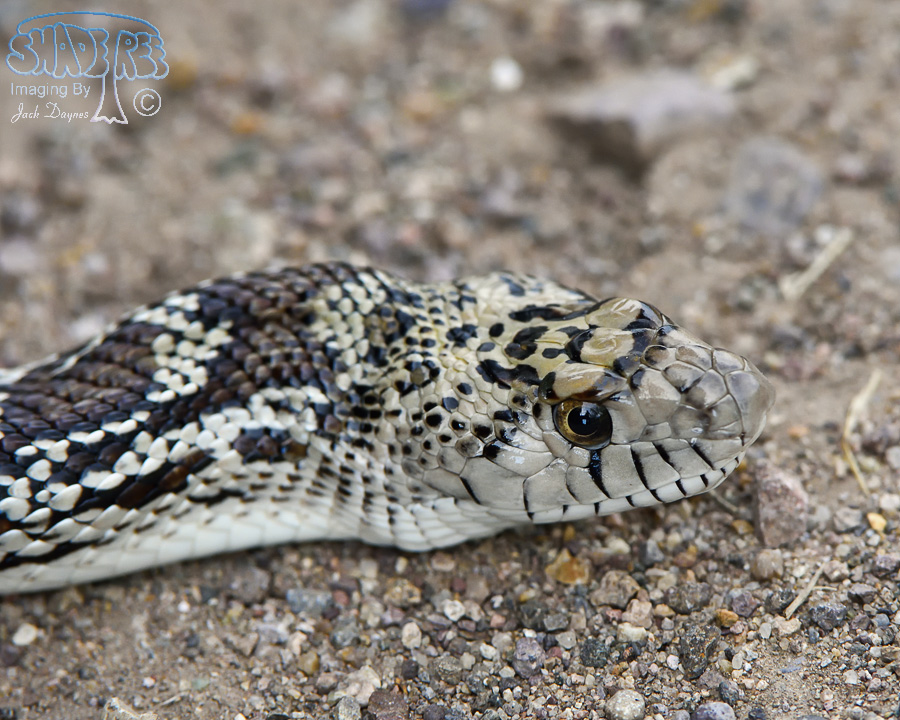 Sonoran Gophersnake - Pituophis catenifer affinis
