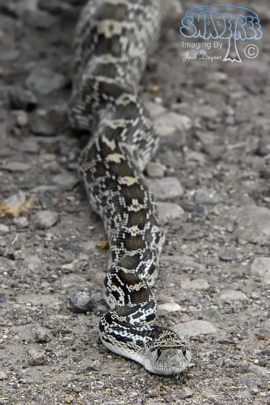 Sonoran Gophersnake - Pituophis catenifer affinis