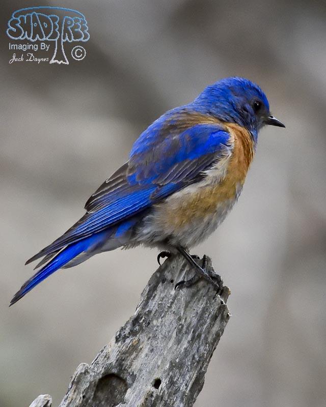 Western Bluebird - Sialia mexicana