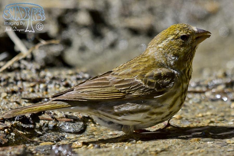 Cassin's Finch - Haemorhous cassinii