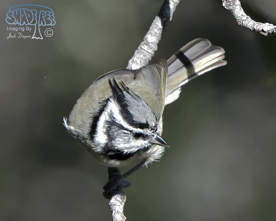 Bridled Titmouse - Baeolophus wollweberi