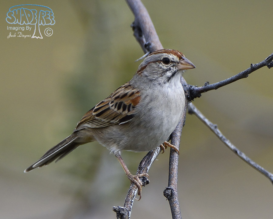 Rufous-Winged Sparrow - Peucaea carpalis