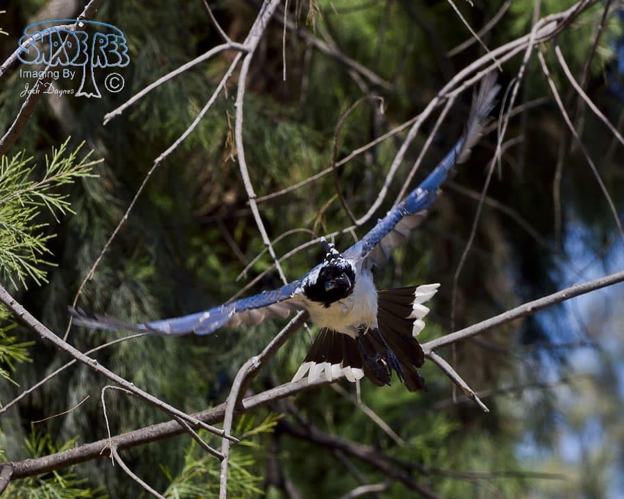 Black-Throated Magpie-Jay - Calocitta colliei