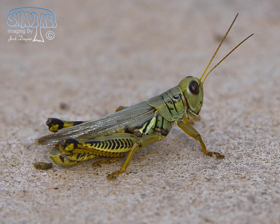 Grasshopper - Unknown