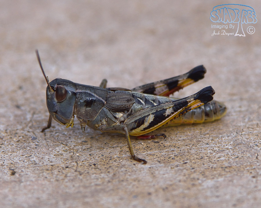Grasshopper - Unknown
