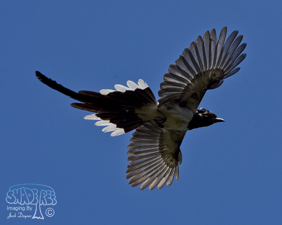 Black-Throated Magpie-Jay - Calocitta colliei