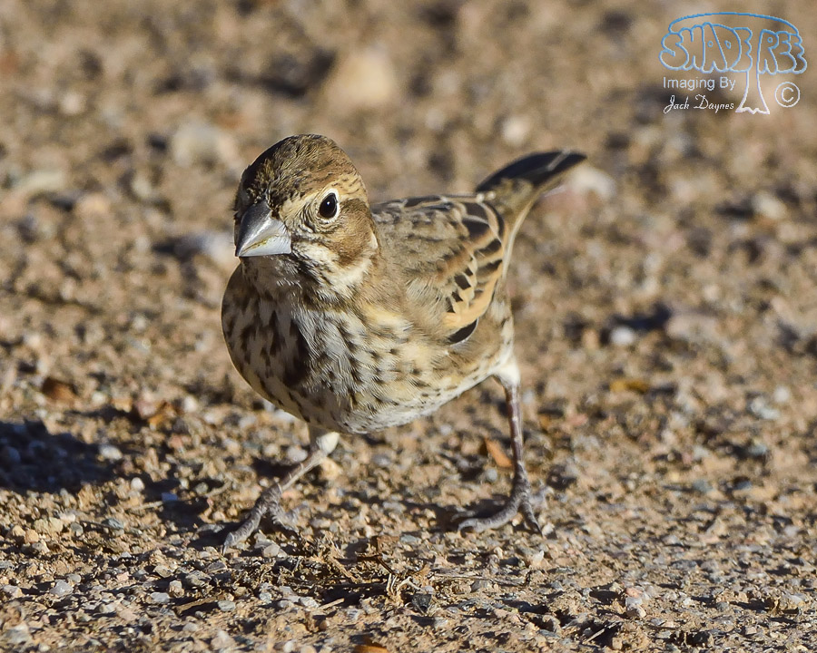 Lark Bunting - Calamospiza melanocorys