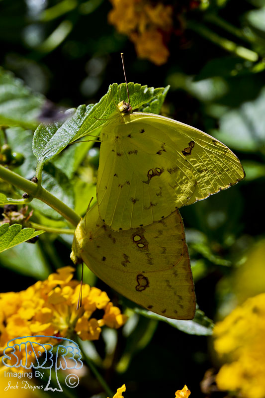 Orange Sulphur Butterfly - Colias eurytheme