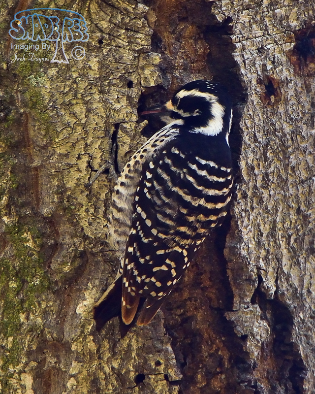 NuttallsWoodpecker - Picoides nuttallii