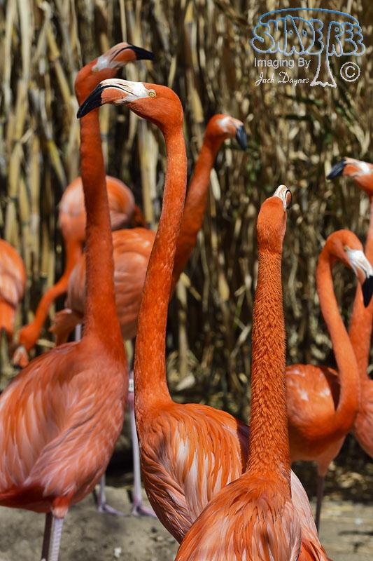 Caribbean Flamingo - Phoenicopterus ruber