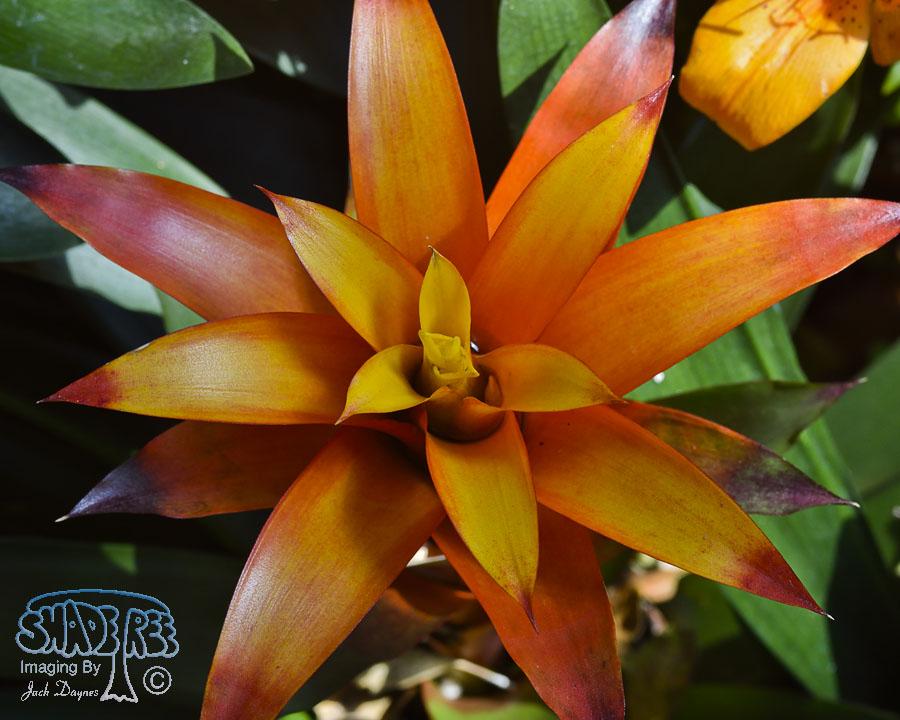 Bromeliad - Unknown