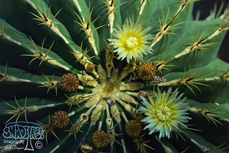 Barrel Cactus Flower - Unknown