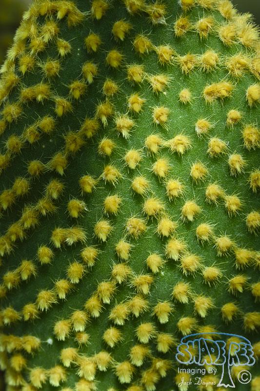 Cactus Leaf - Unknown