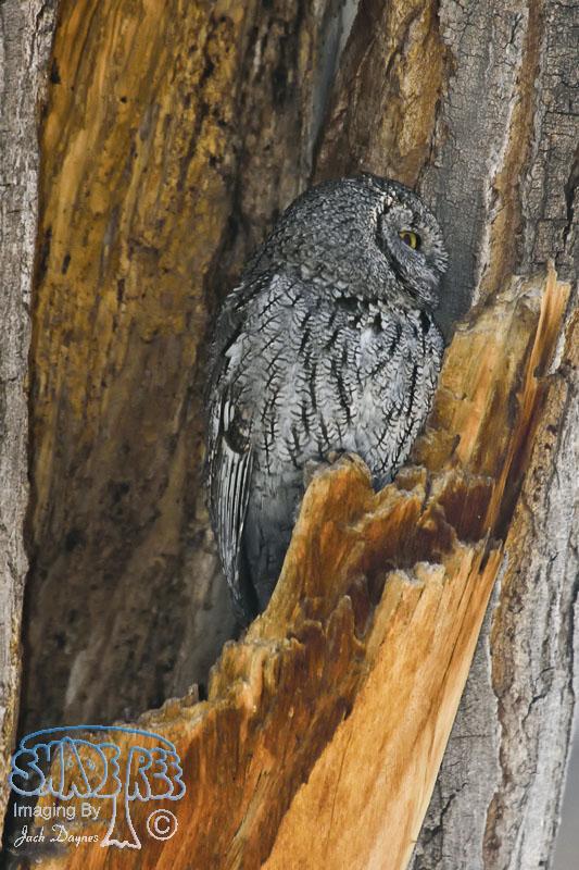 Western Screech-Owl - Otus kennicottii