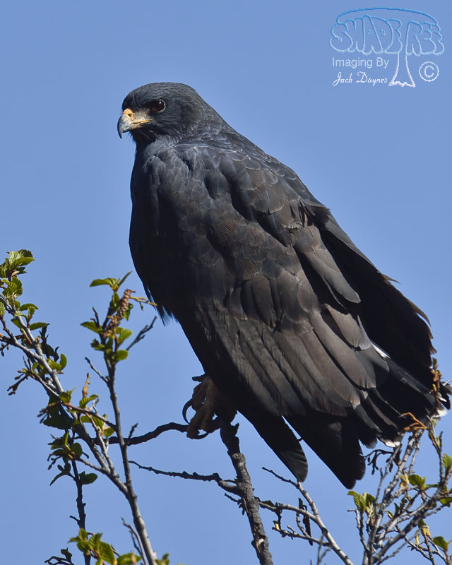 Common Black-Hawk - Buteogallus anthracinus