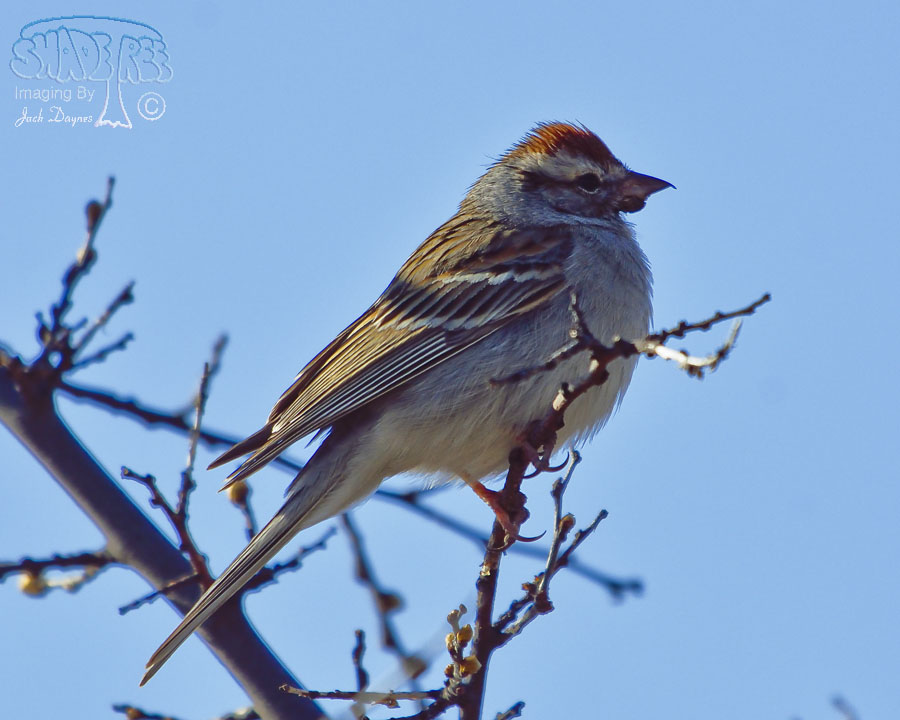 Rufous-Winged Sparrow - Aimophila carpalis