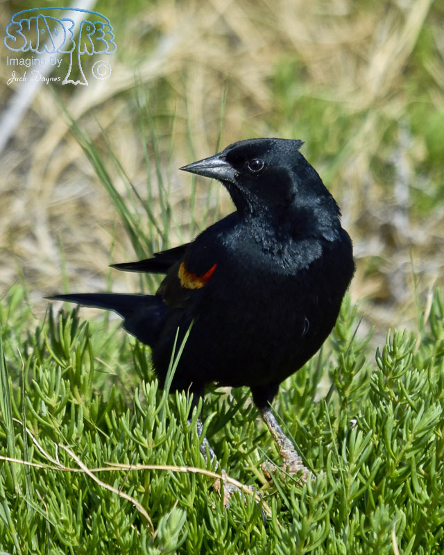 Red-Winged Blackbird - Agelaius phoeniceus