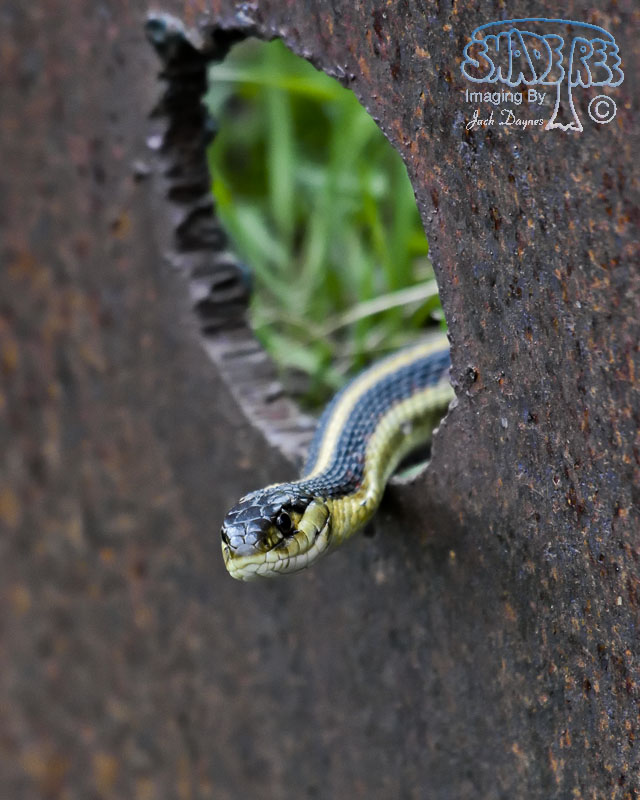 Garter Snake - Thamnophis elegans biscutatus