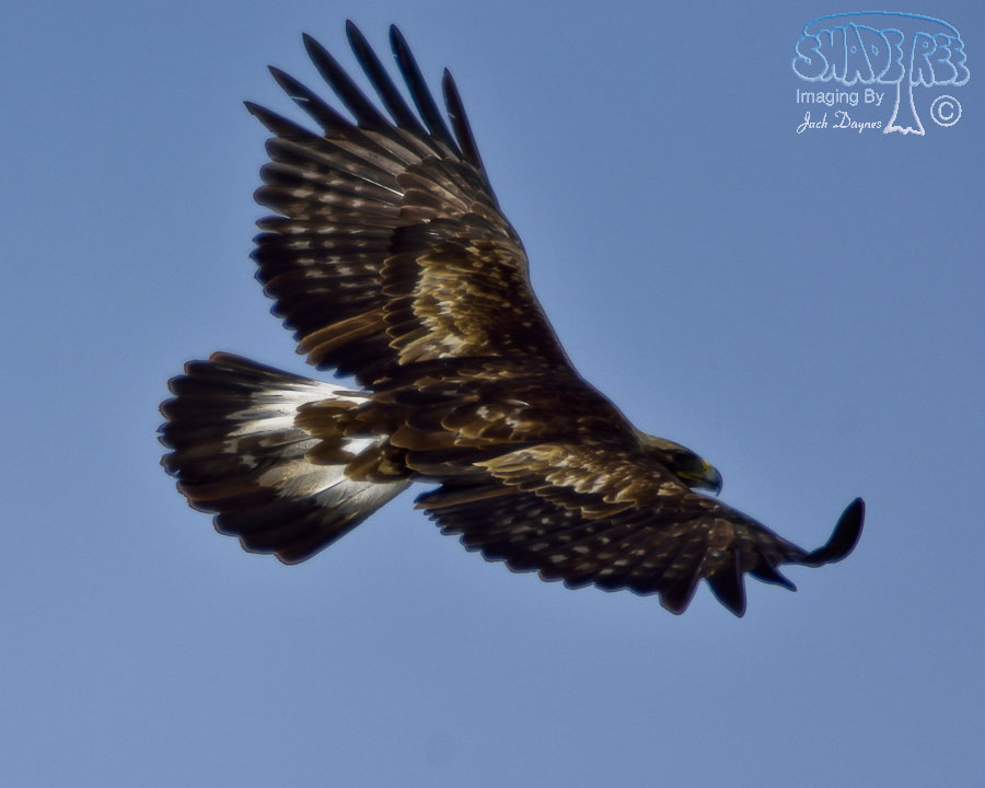 Golden Eagle - Aquila chrysaetos
