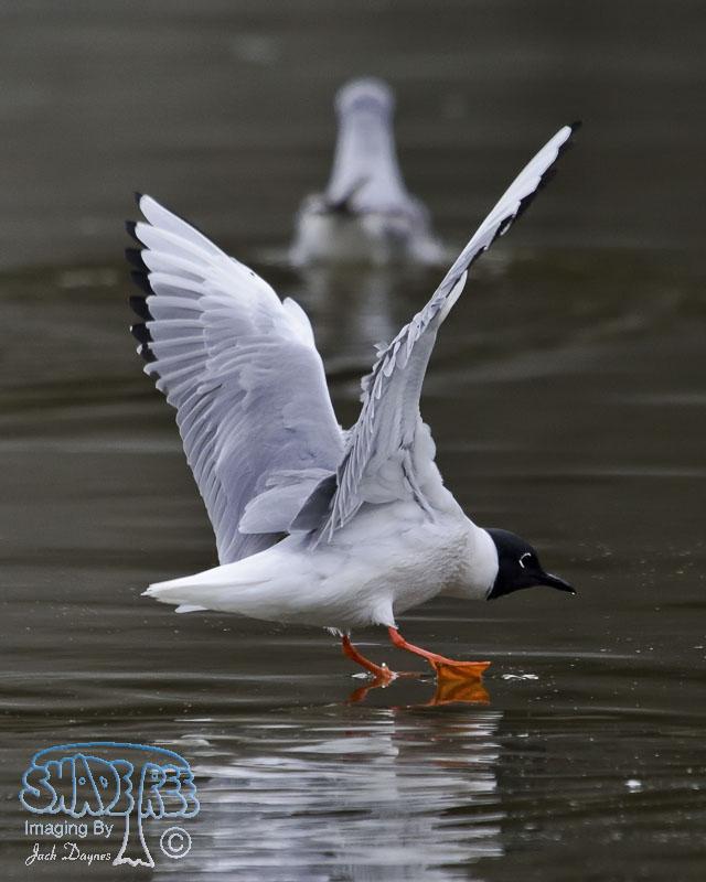 Bonaparte's Gull - Larus philadelphia