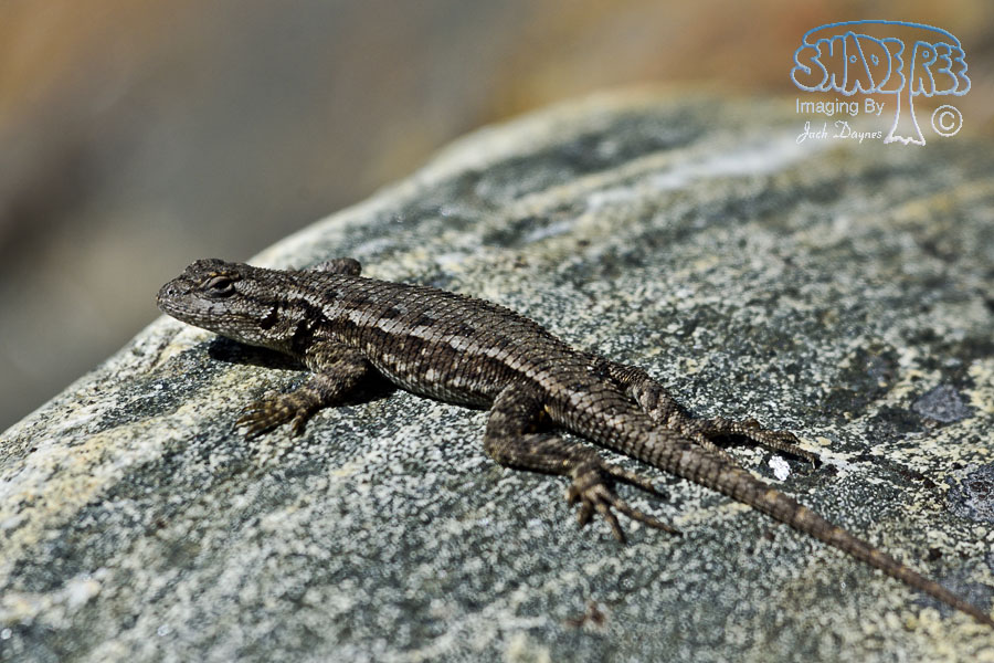 Western Fence Lizard - Sceloporus occidentalis