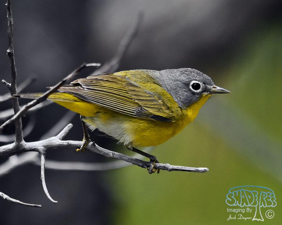 Nashville Warbler - Oreothlypis ruficapilla