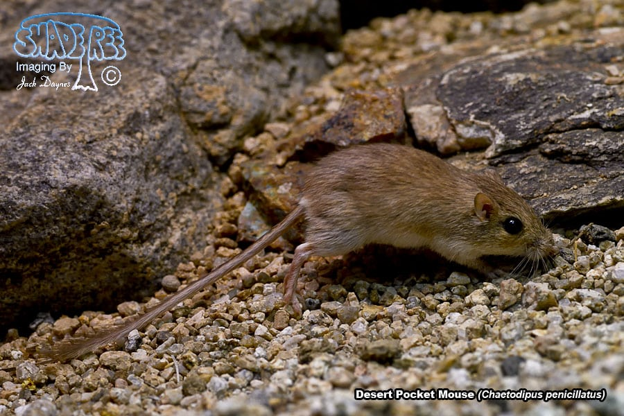 Desert Pocket Mouse - Chaetodipus penicillatus